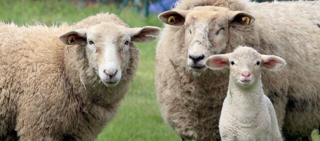 Zwei Schafe und ein Lamm