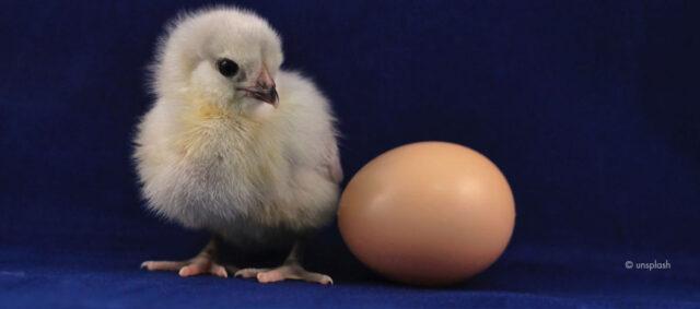 Ein Küken und ein Ei