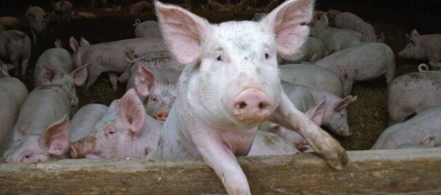 Schweine im Offenstall