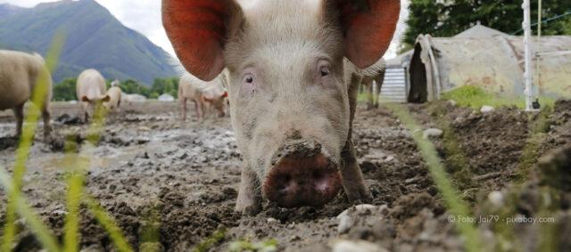 Ein Schwein im Freien
