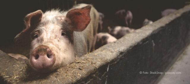 Ein Schwein im Stall schaut über eine Mauer