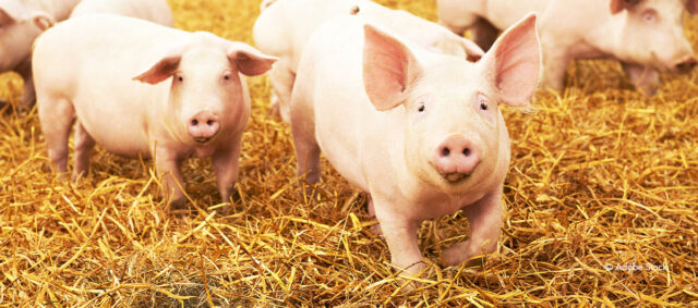 glückliche Schweine im Stroh
