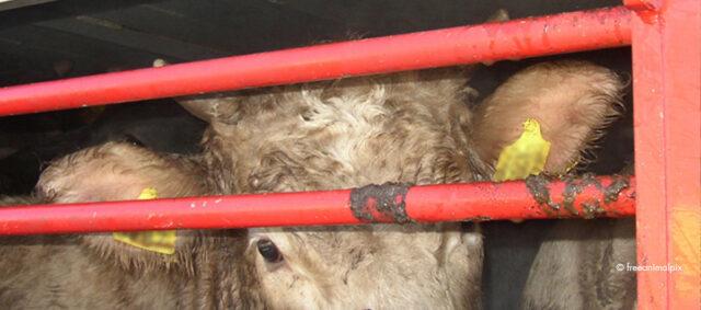Eine Kuh in einem Transporter