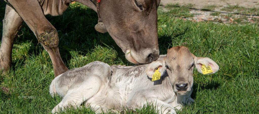 Kuh und Kalb auf einer Wiese