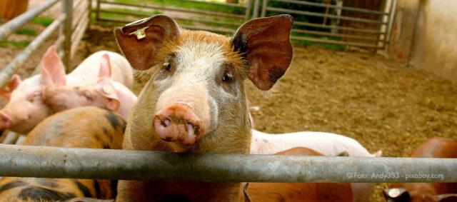 Ein Schwein schaut über einen Zaun