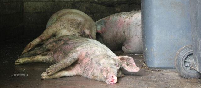 Tote Schweine liegen auf dem Boden