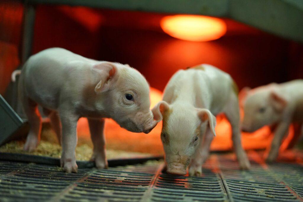 Blick auf neugeborene Ferkel in einer Abferkelbucht. Hinter ihnen strahlt eine rote Wärmelampe © Foto: Oleksanr/stock-adobe.com