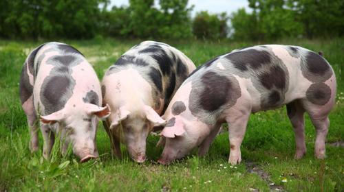 drei Pietrain Schweine im Freiland