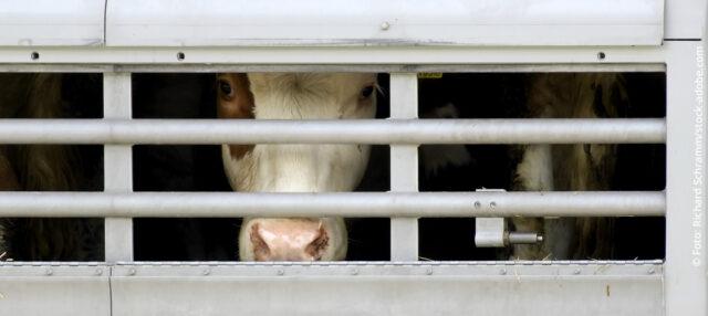 PROVIEH fordert Stopp von Tiertransporten