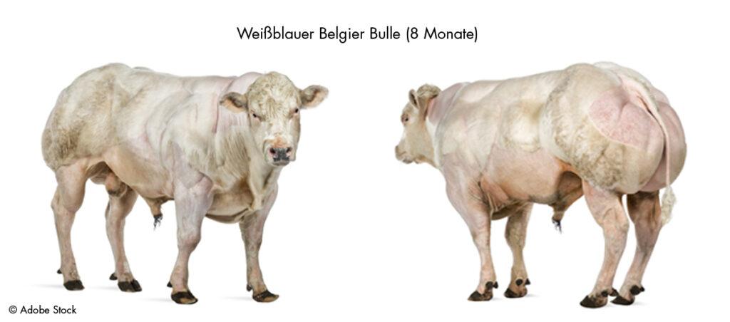 Weissblauer Belgier