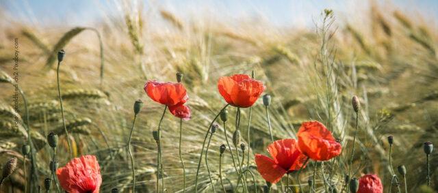 Ein Feld mit Mohnblumen
