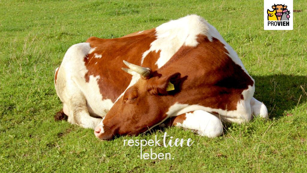 Wallpaper, eine Kuh ruht sich aus