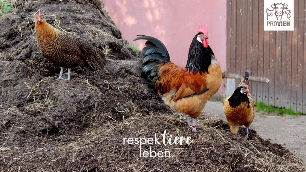 Wall, Hühner auf einem Misthaufen