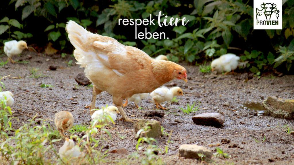 Wallpaper, Huhn und Küken suchen Körner