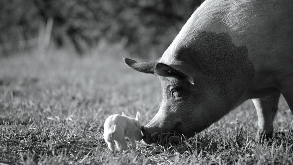 Ferkel und Schwein im Freien