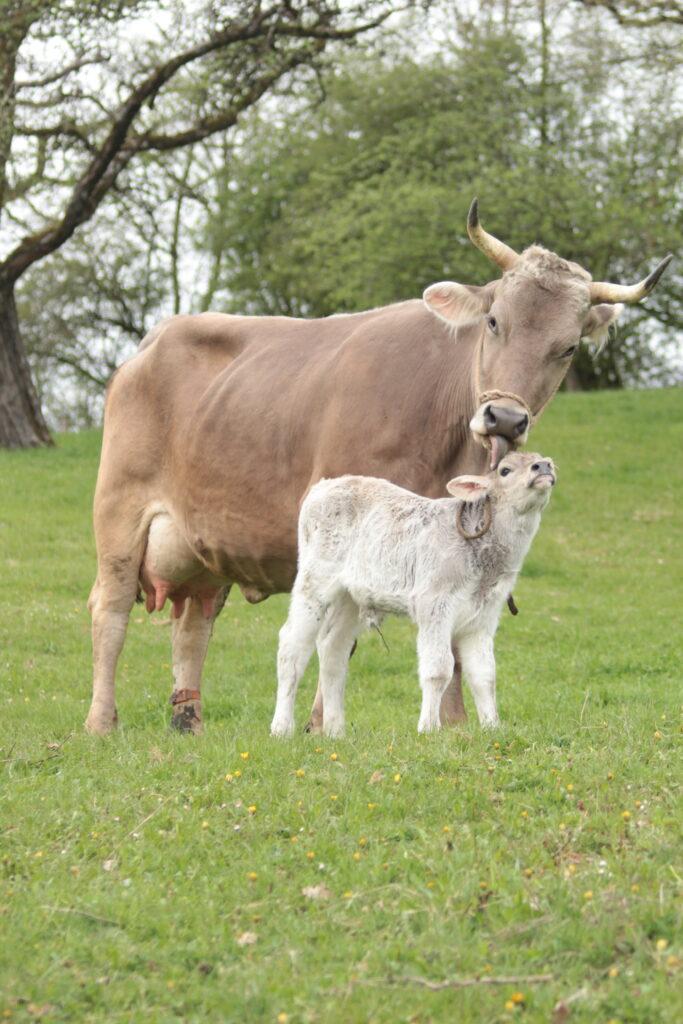 Eine Kuh und ein Kalb auf der Weide