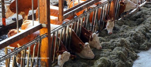 Kühe am Fressen in einem Stall
