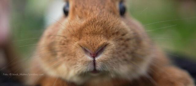 Das Portrait eines Kaninchen