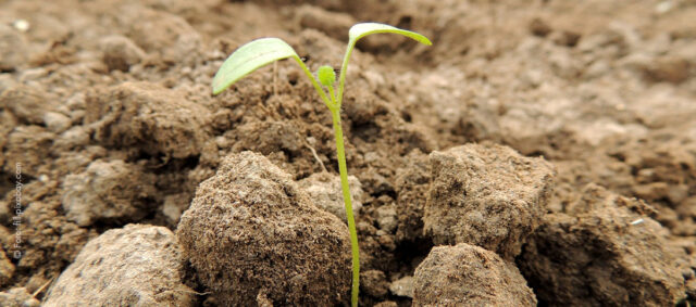 Ein Samen wächst aus der Erde