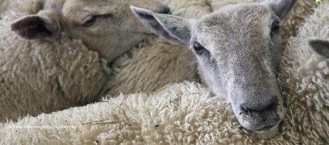 Zusammengedrängte Schafe