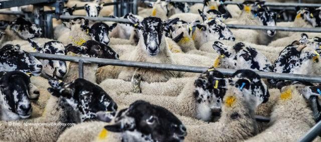 Schafe in einem Käfig