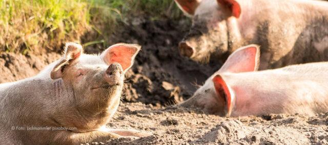 Glückliche Schweine im Sand