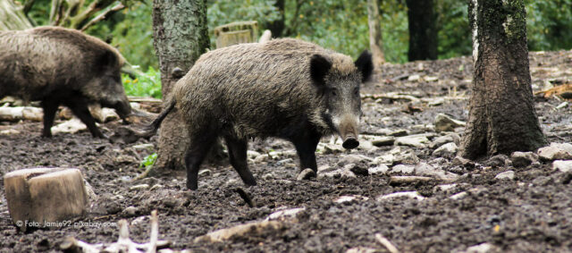 Wildschwein im Freien
