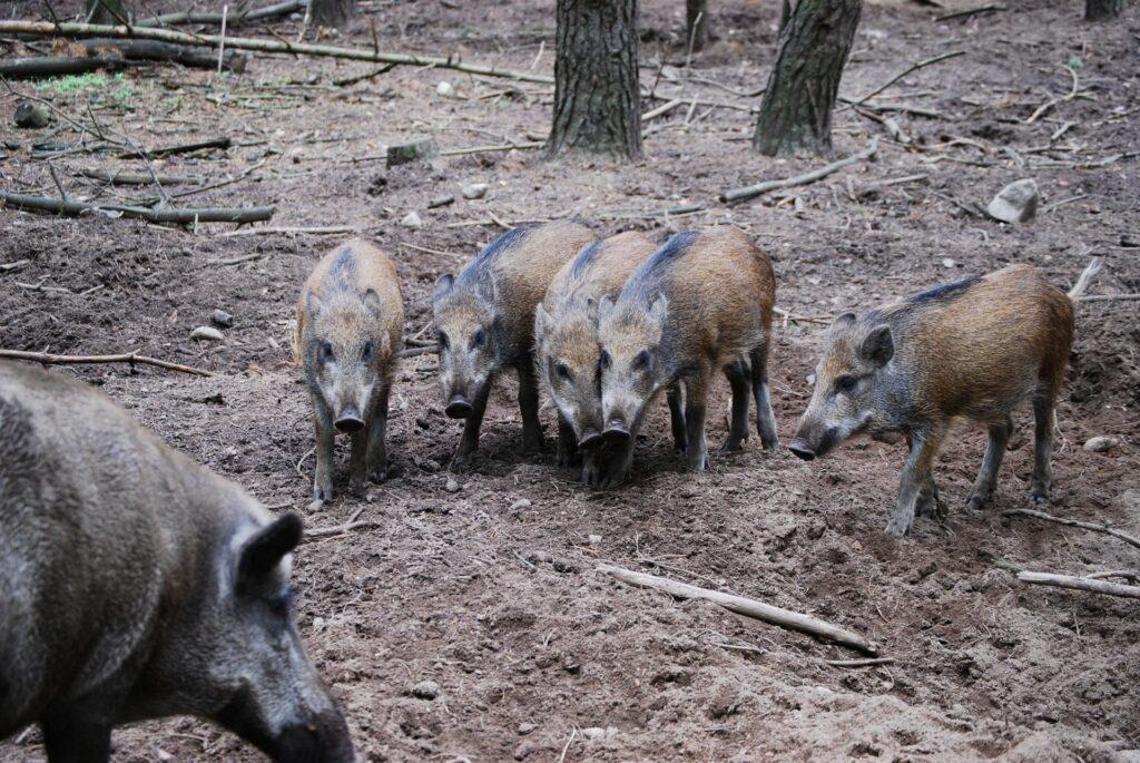 Wildschweine und Ferkel