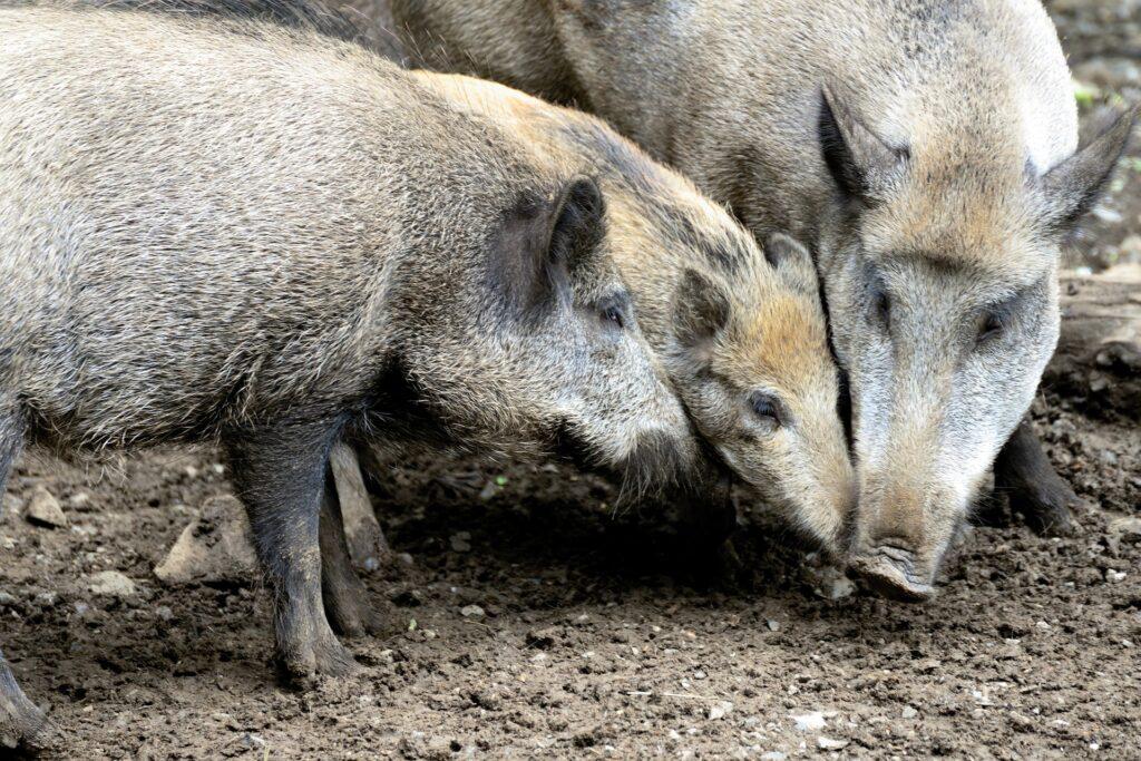 Wildschweine am wühlen