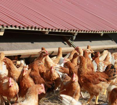 Biohühner im Freiland