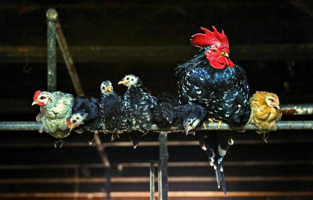 Hühner auf einer Stange