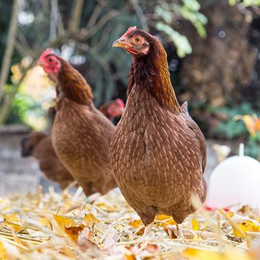 Welsumer Hühner