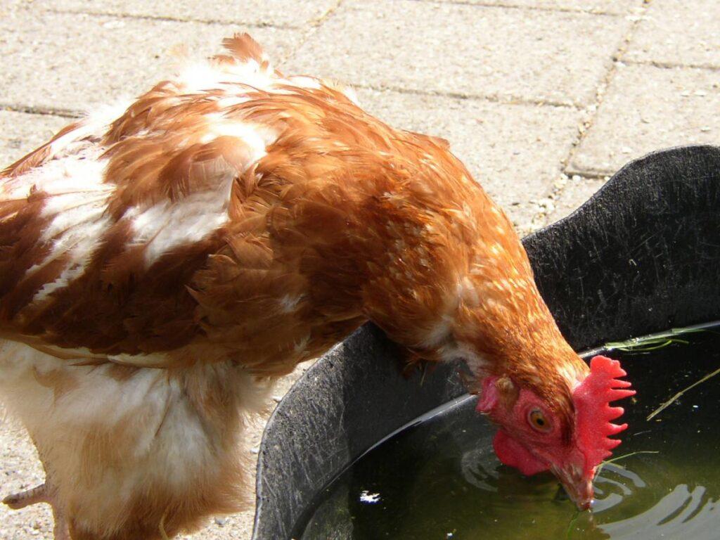 Ein trinkendes Huhn
