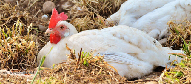 Ein Huhn im Stroh