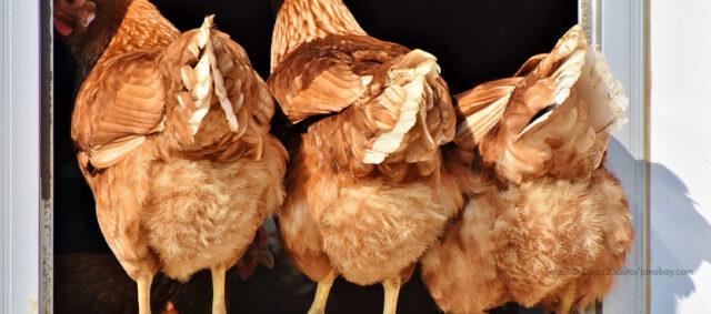 Drei Hühner am offenen Fenster