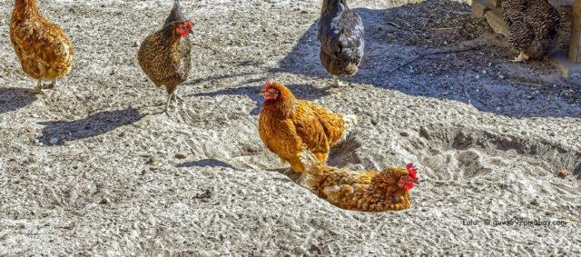 Sandbadende Hühner