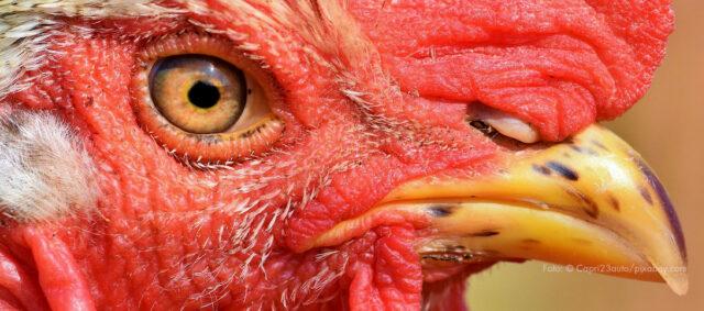 Nahaufnahme eines Hahnes