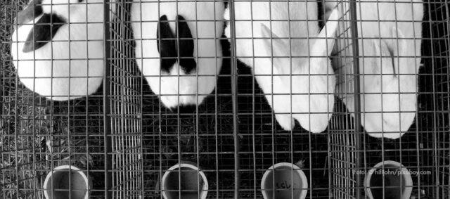 Vier Kaninchen in Käfigen