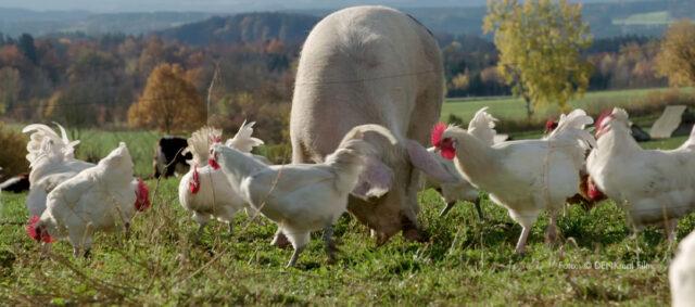 Schwein und Hühner